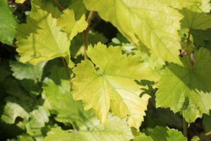 Порушення живлення винограду