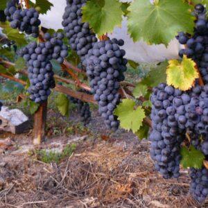 Виноград Данко