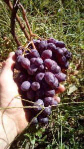 Виноград Клубнічний