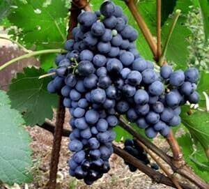 Виноград Альмінський