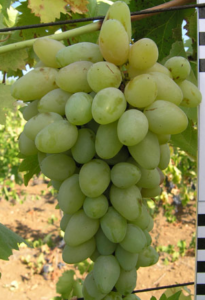 Виноград Супермускат