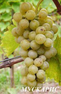 Виноград Мускарис