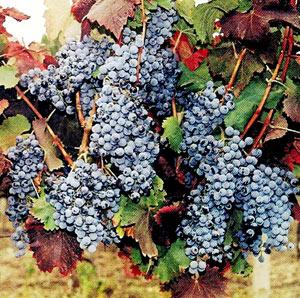 Виноград Одеський чорний